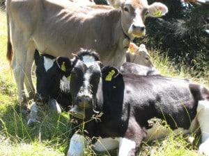 Biestmilch ist die Erstmilch von Kühen. Sie moduliert das Immunsystem und wirkt entzündungshemmend. (Foto; epr/Trixsters)