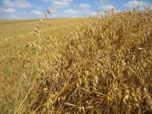 """Lebensmittel aus Hafer sind """"Natur pur"""", denn Haferflocken zum Beispiel werden sehr schonend verarbeitet und sind immer aus dem vollen Korn, da Keim und Randschichten des Haferkorns mit verarbeitet sind. (Foto: epr/Hafer Die Alleskörner)"""